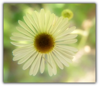 Luminous Daisy