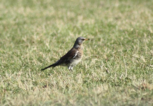 Fieldfare at Chalgrove