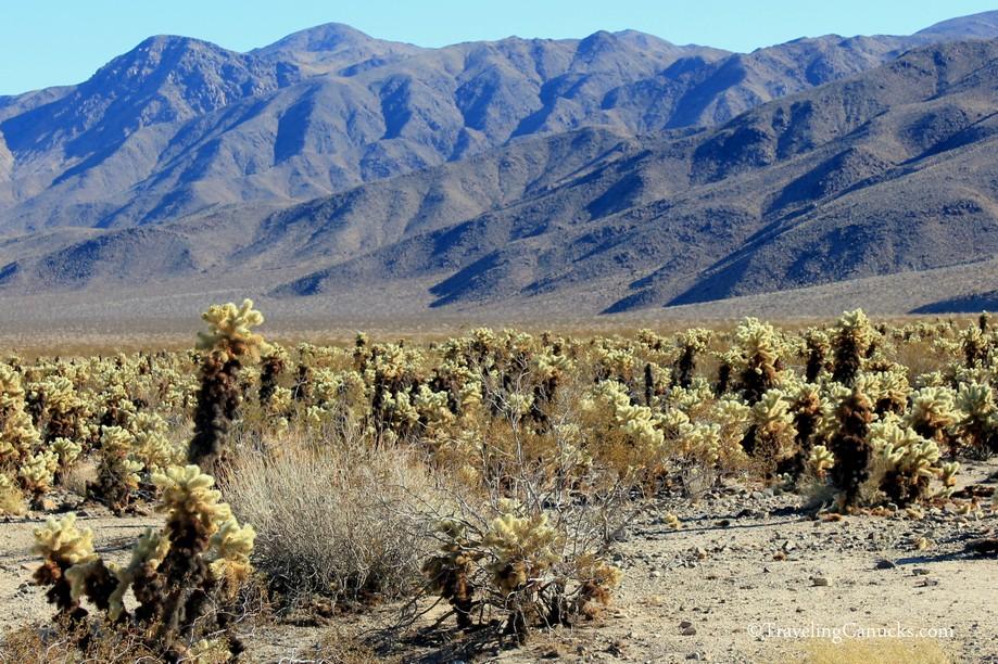 Cholla Cactus Garden Nature Trail, Joshua Tree, California