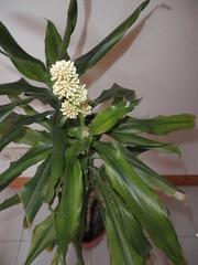 Tronco del Brasil con una flor