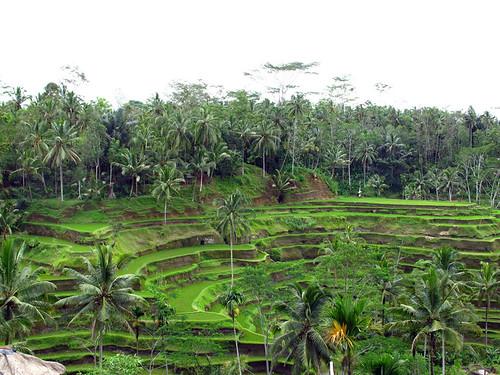Rice Paddies Ubud area Bali
