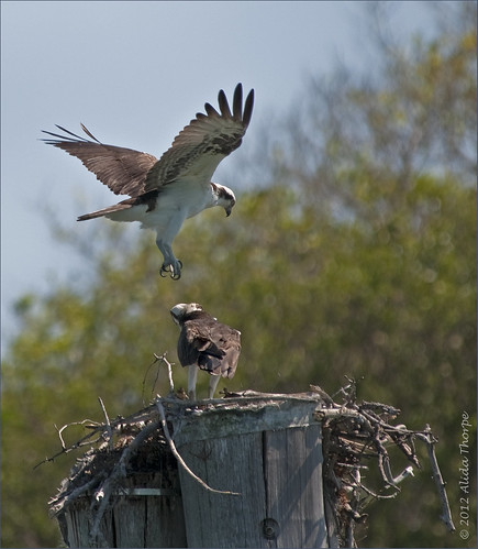 mating osprey by Alida's Photos