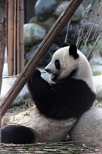 Jus' chillin, eatin' mah bamboos.