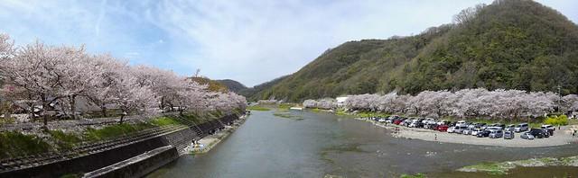 井原堤の桜 #5