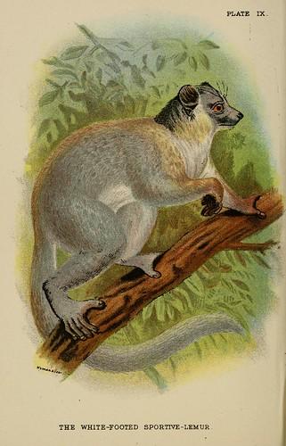 014-Lemur deportivo de patas blancas-A hand-book  to the primates-Volume 1-1896- Henry Ogg Forbes