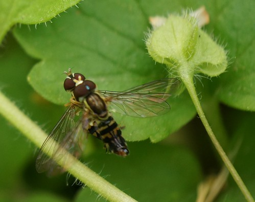insects copulation hoverflies