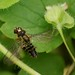 Small photo of Hover flies mating