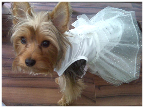 Check out our I See Spot Wedding Dog Dress Sheer elegance will walk down