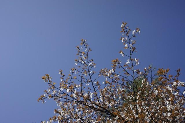卯辰山も桜満開!
