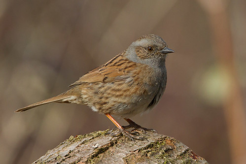 IMG_4626 Hedge Sparrow