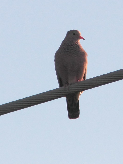 Common Ground-Dove 20120303