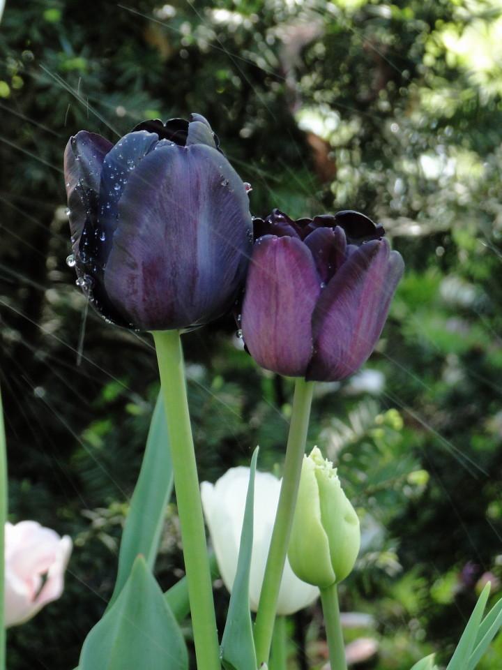 77-21apr12_3886_Botanical_garden_tulip