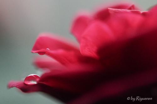 goccia di rosa
