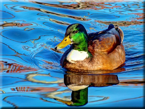 Duck in reflecting water