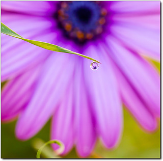 Daisy through Morning Dew