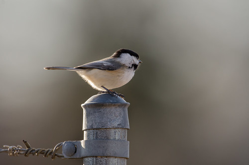 Chickadee Survey_8837.jpg