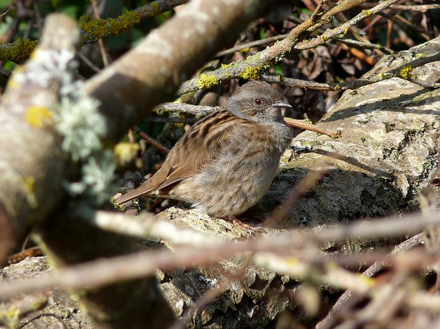 25717 - Dunnock, Cosmeston