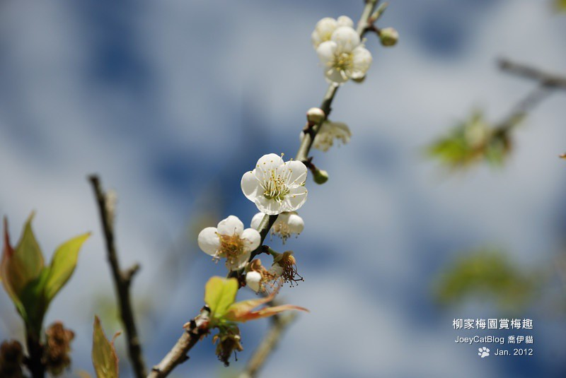 2012_0115_柳家梅園賞梅趣_12DSC_3911