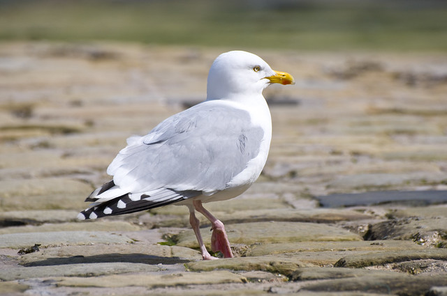 Herring Gull (Larus argentatus) Male in Scarborough Harbour