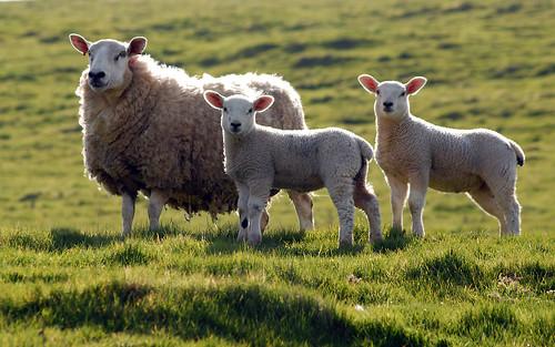 無料写真素材, 動物 , 哺乳類, 羊・ヒツジ, 動物  親子
