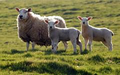 [フリー画像素材] 動物 1, 哺乳類, 羊・ヒツジ, 動物 - 親子 ID:201204041000