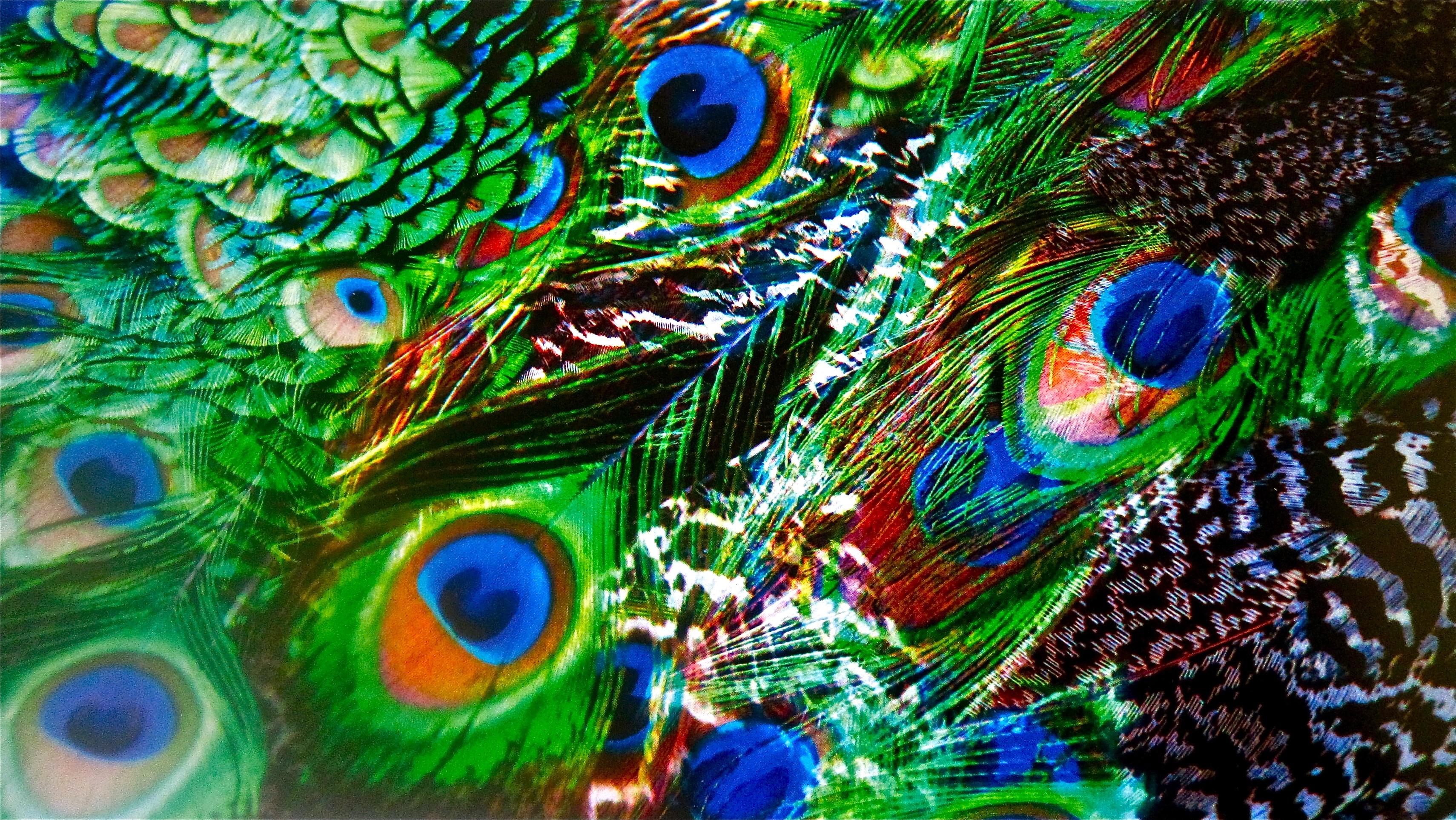 Peacock  Costa Rica