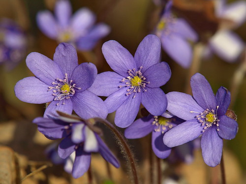 Anemones (anemone hepatica) by inga_art