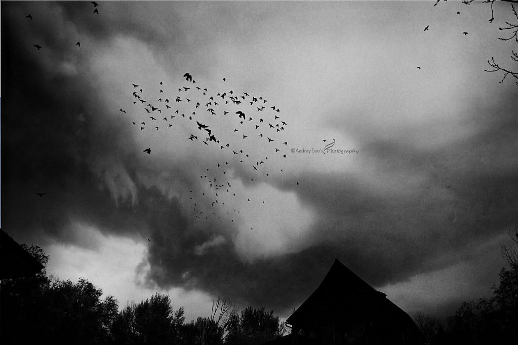 barnbirdscopy