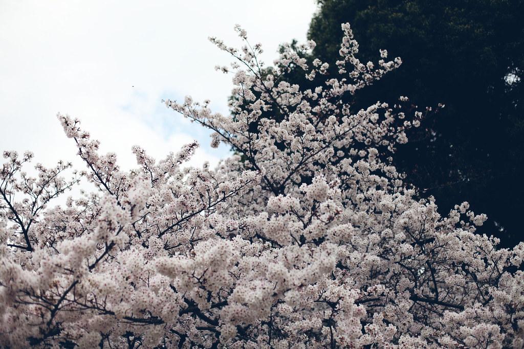 sakura_6837