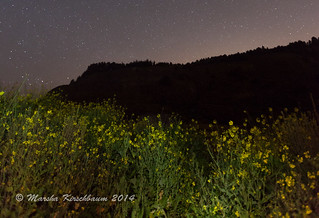 Wild Mustard beneath Starry Sky