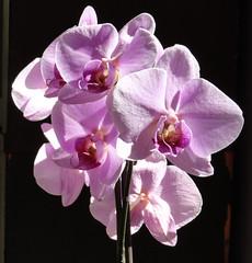 blossom(0.0), cattleya labiata(0.0), plant(0.0), cattleya trianae(0.0), flower(1.0), purple(1.0), lilac(1.0), macro photography(1.0), phalaenopsis equestris(1.0), flora(1.0), moth orchid(1.0), pink(1.0), petal(1.0),