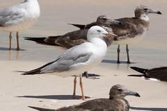 Slender-billed Gull at al Fizavah S24A8272