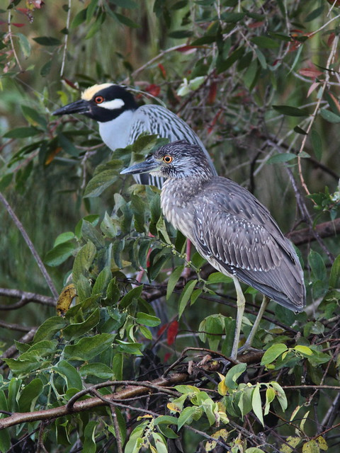 Yellow-crowned Night-Heron immature  20120224