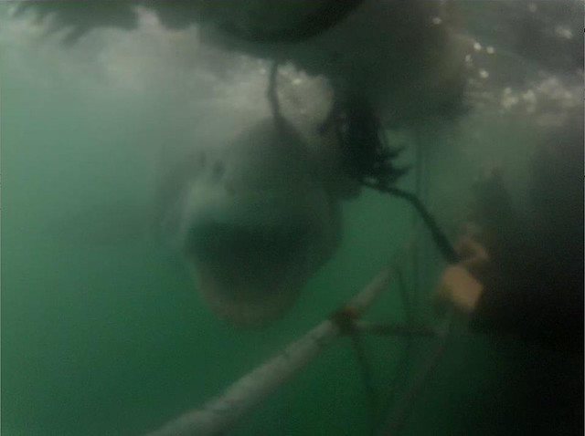 Great white shark cage dive : 1