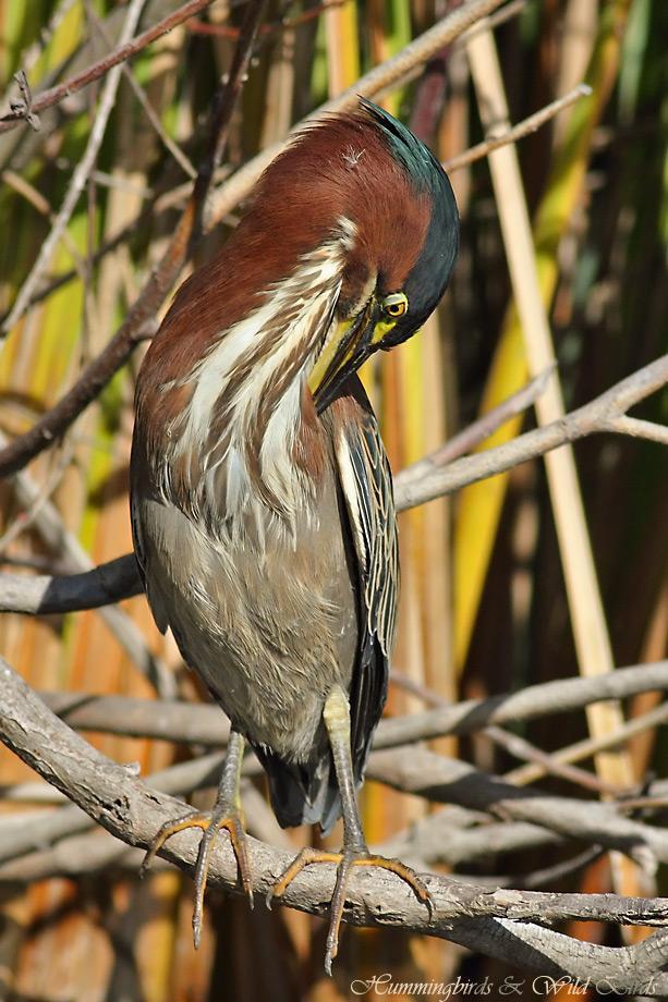 Green Heron 022412-6