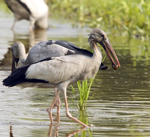Asian Openbill ( Anastomus oscitans )