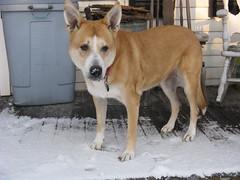 dog breed, animal, dog, canaan dog, pet, carnivoran,