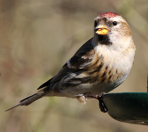 Lesser Red Poll 4954