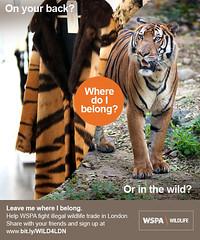 WSPA Mini Poster - Tiger