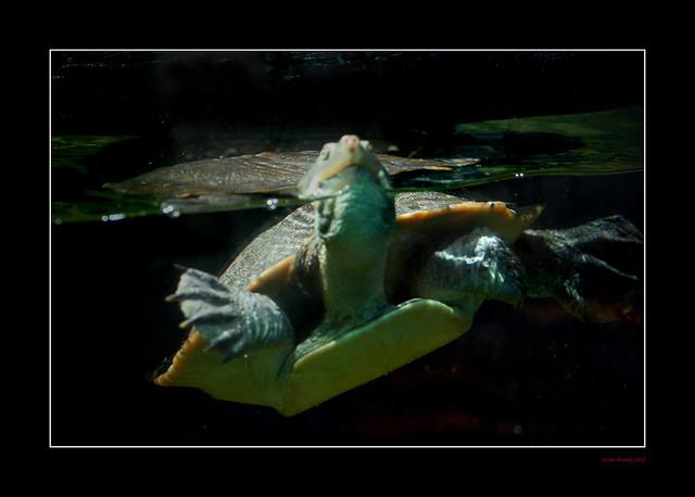 Turtleneck Swimmer