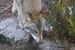 animal, canis lupus tundrarum, czechoslovakian wolfdog, gray wolf, red wolf, mammal, jackal, grey fox, fauna, wolfdog, saarloos wolfdog, coyote, wildlife,