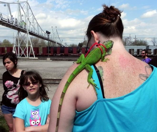 03-17-2012_Green iguana