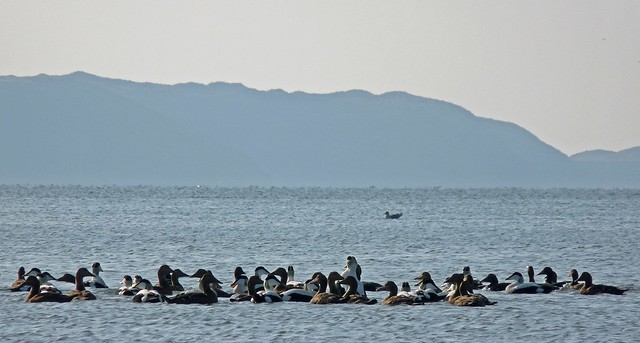 25541 - Eider, Whitford Point, Gower