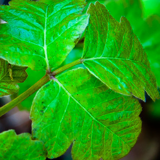 Do you have a poison ivy plan for the kiddies?