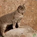 Persian Cat in Kandovan, Iran