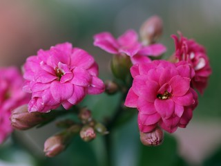 Double-flowered Kalanchoe 2