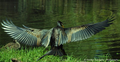 Darter Taking off