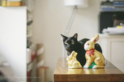 Easter Bunnies and 2 Black Cats, twoguineapigs pet photography 3