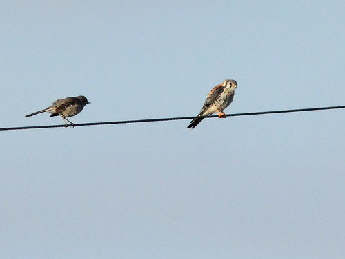 Mockingbird vs kestrel 20120222