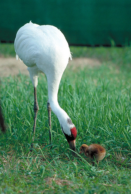 Adult Whooping Crane and Chick
